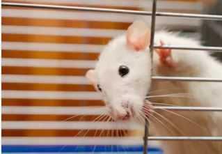 Best Rat Cages Materials