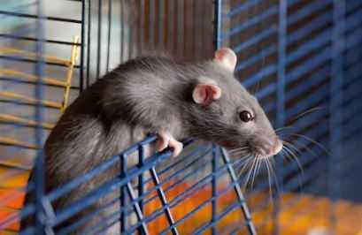 Best Rat Cages Space