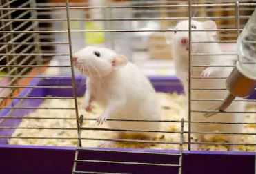 Best Rat Cages Buying Guide for 2021